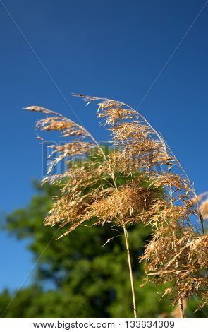 Dry grass under the blue sky gently swaying in the wind. Shallow depth of field. Close vertical view.