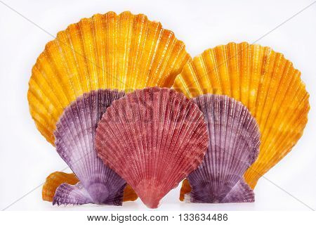 some colorful seashells of mollusk isolated on white background close up.