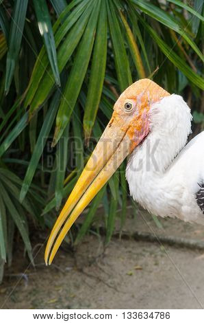 The Adult Endangered Milky Stork.