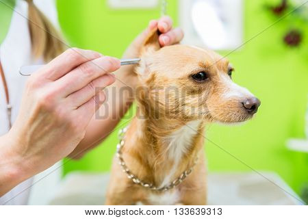 Dog gets ear clearing with pincers in pet grooming parlor