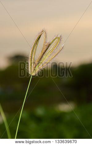 Swollen finger grass in night garden , Chloris barbata Sw.