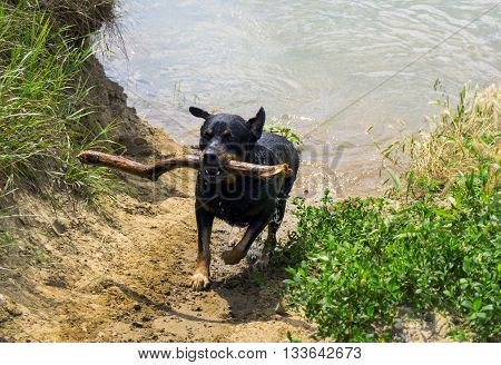 Funny Happy rottweiler dog running with stick