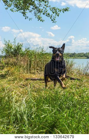 Funny Happy rottweiler dog having fun on the river bank