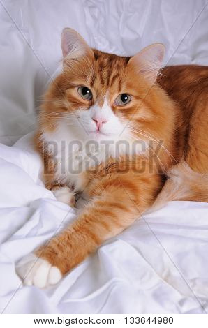 Red-headed cat lying on white soft fluffy blanket closeup
