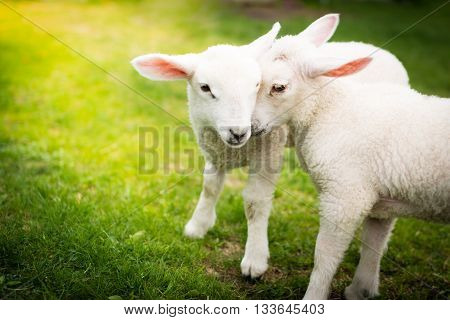 Two lambs cuddling on a green field