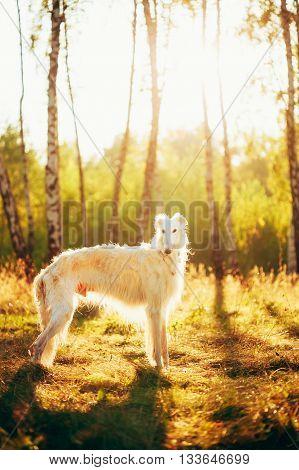 White Russian Dog, Borzoi in Summer Evening, Sunset Sunrise Forest.