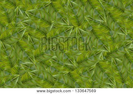 fresh green aglaonema sithiporn leaves pattern background