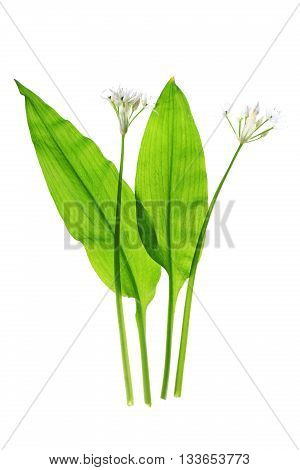 Wild garlic (Allium ursinum) isolated before white background