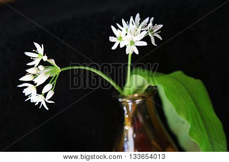 Wild garlic against black background (Allium ursinum)