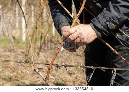 Gardener with a sharp pruner making a grape pruning - cutting branches at spring