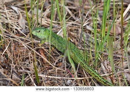 Sand lizard (Lacerta agilis). Green lizard in may national Park Meshchera Ryazan oblast of Russia.