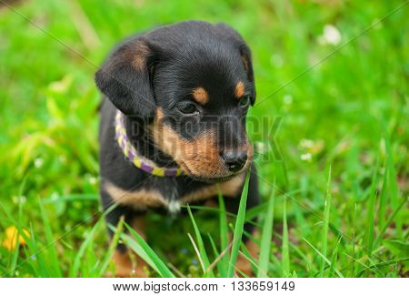 Little Dachshund puppy sitting in a park on the grass during a walk.