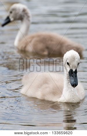 Cygnus Olor (white Swan) In Spring