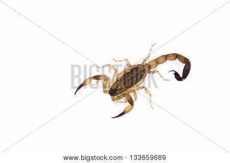 Isolated Scorpion