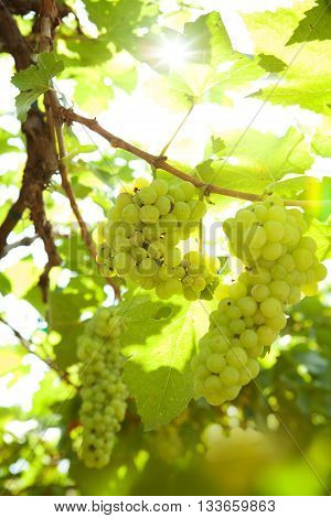 close up view of nice fresh white grape in nature