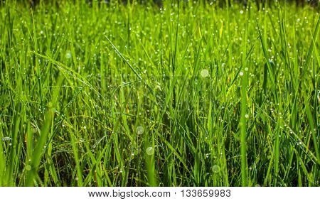 Green grass in the park close up. Dew drops close up on fresh green spring grass. Morning sunny day. Abstract nature background. Background.