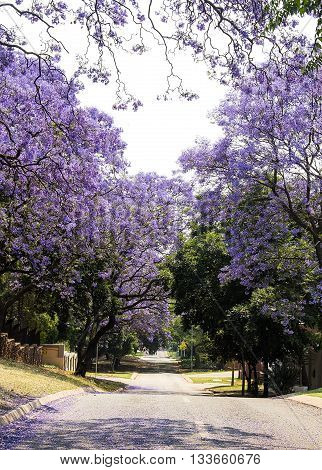 Street of beautiful purple vibrant jacaranda in bloom. Tenderness. Romantic style. Spring in South Africa. Pretoria.
