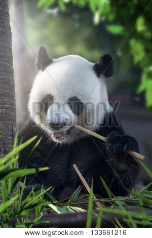 portrait of nice panda bear eating in summer environment