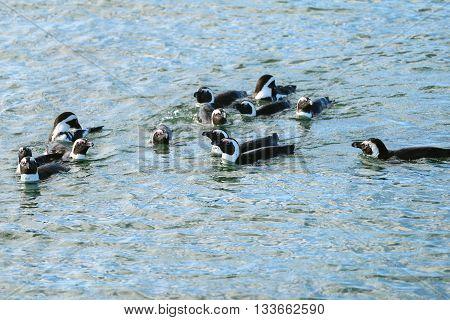 Jackass penguins in water Penguin Islands Luderitz bay Atlantic ocean Namibia Africa