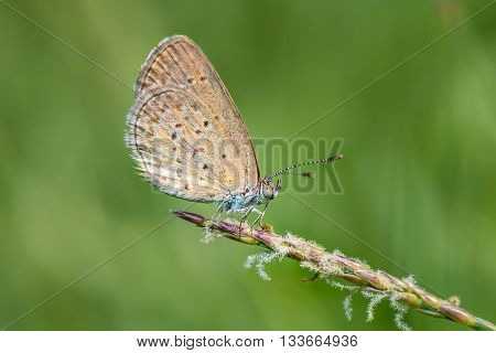 Blue butterfly Polyommatus icarus closeup on wild flower