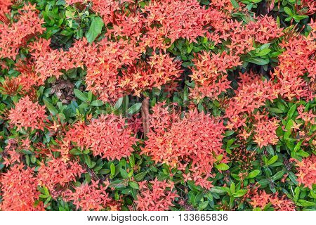 Select focus of red ixora flower for background Red Rubiaceae flower; Red flower in asia.