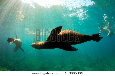Sea lions swimming around snorkelers underwater in the Galapagos Islands