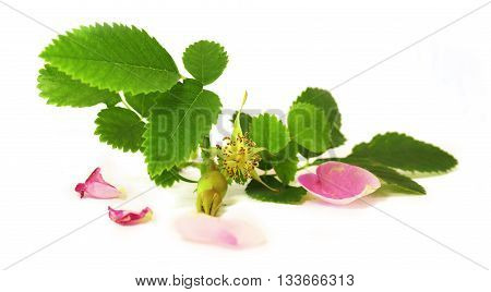 white crumbling pink petals berries briar fresh delicate flowers and petals isolated on white background scrapbook