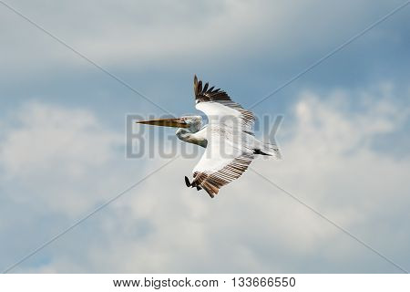 A large White Pelican flies in front of sky