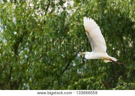 Great Egret Flying in the Danube Delta