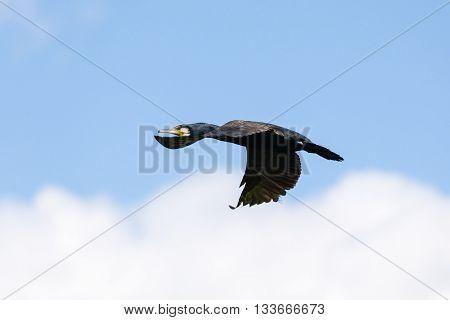 Great Cormorant in flight at the Danube Delta