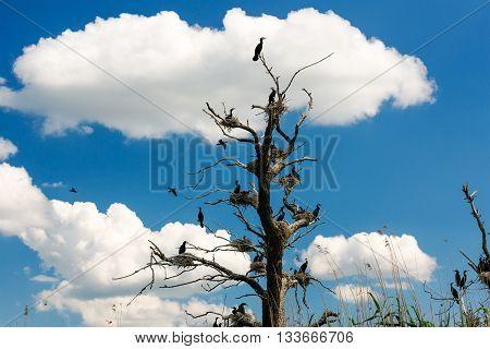Cormorant nests in trees in Danube Delta Romania