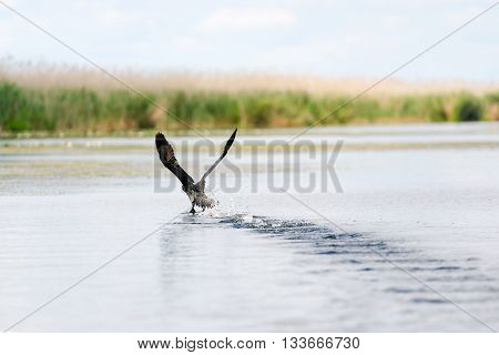 Close up of cormorant flying over water Danube Delta Romania