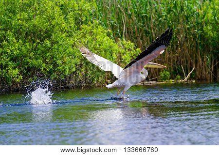 White pelicans (pelecanus onocrotalus) in flight in Danube Delta Romania