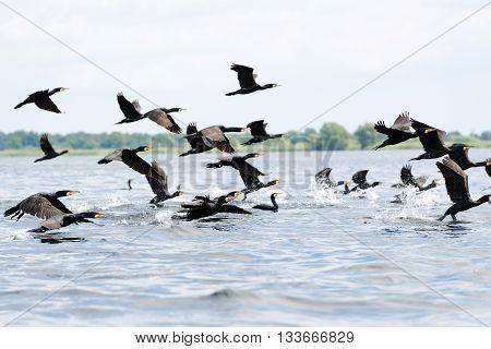 Group of cormorants in the Danube Delta Romania