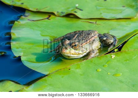 Frog in the Danube Delta Romania, lily