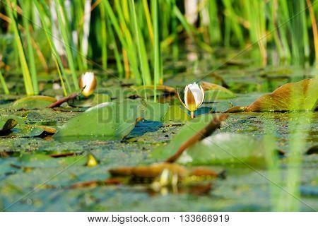 Waterlilies in the Danube Delta Romania, green