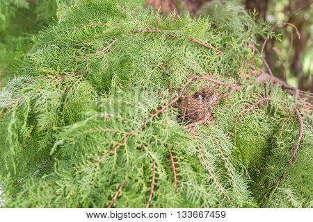 Bird nest on Chinese Arborvitae or Orientali Arborvitae branch; natural wildlife in forest.