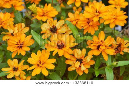 yellow french marigold tropical flower in the garden