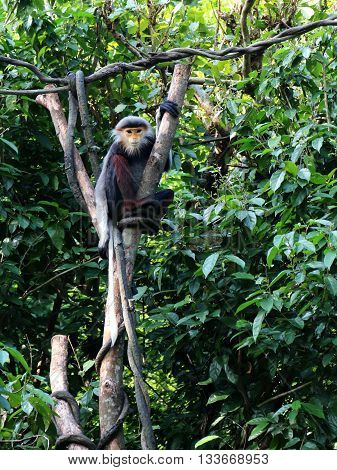 Red-shanked Douc monkey resting on a tree
