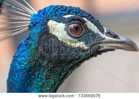 A peacock full head closeup head and eye