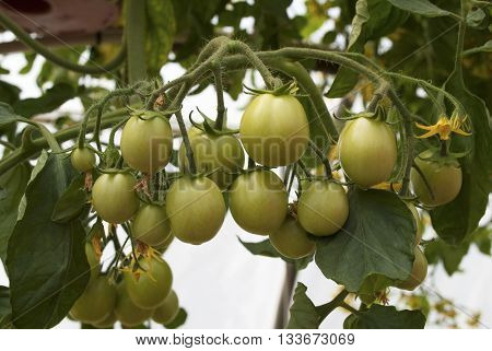 Green Tomatoes Growing in a Hanging Pot in a Greenhouse