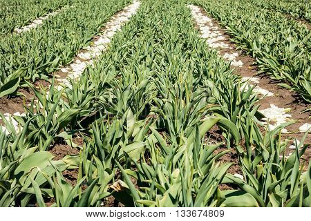 Tulip bulb field with white flowers on soil after harvest.