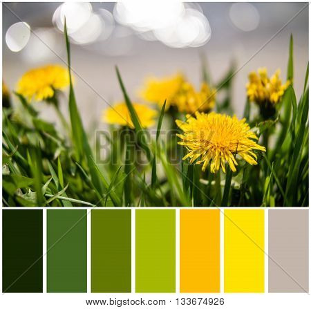 Yellow dandelions on the lake shore. Yellow summer flowers with green grass and white bokeh blure. Yellow dandelion flowers with leaves in green grass. Fresh green grass with dandelions. Soft focus.