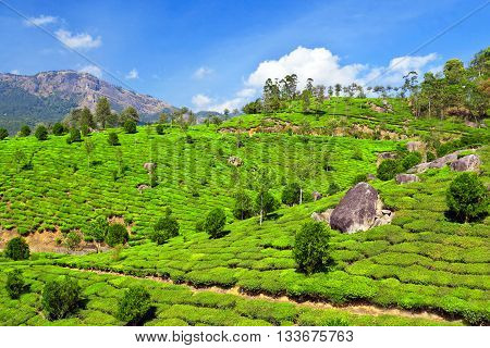 Beauty tea plantation in Munnar in India