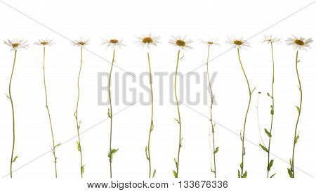 ten beautiful flowers field of daisies with white soft petals and a bright yellow center on thin delicate green stems on a white background isolation