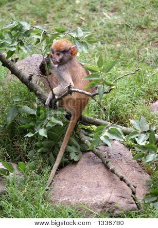 Baby Patas Monkey