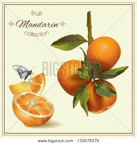 Vector realistic illustration of mandarin with slice and butterfly.