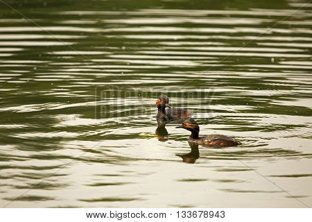 Environmental photo of two male black-necked grebe (Podiceps nigricollis) float on the pond spring morning in Poland. Shallow depth of field.Horizontal view