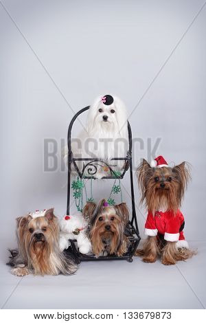 group of four dogs of Yorkie and Maltese sitting in Christmas decorations