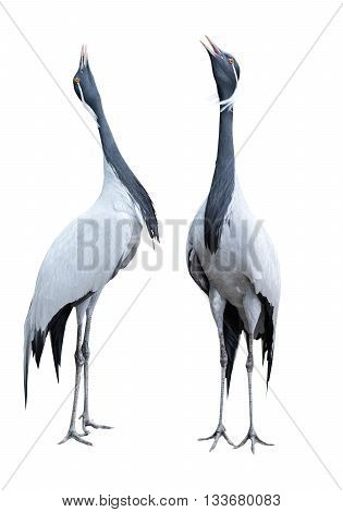 African crane bird isolated on a white background